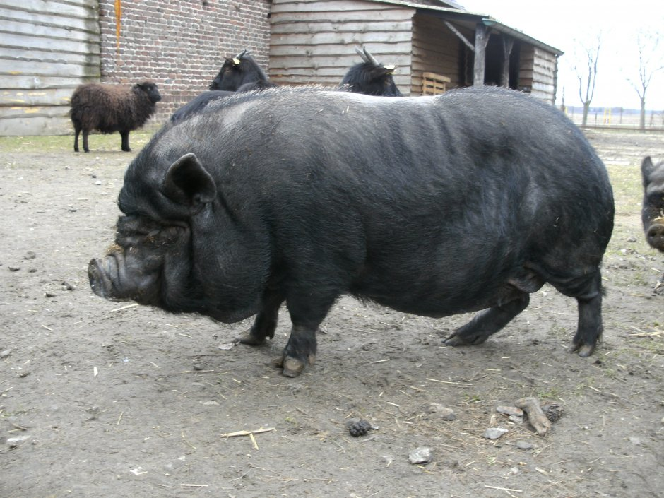 1000 Images About Hangbuikzwijn Potbelly Pig On