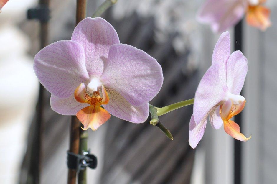 foto orchidee bull 52 - photo #40