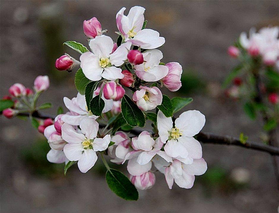 Appelbloesem Zeeland Foto