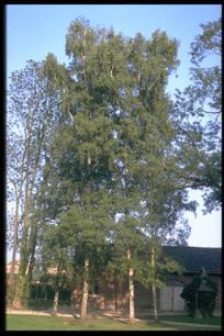 Berken bomen